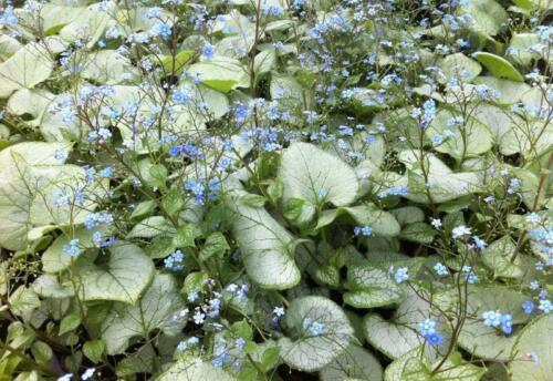 Brunnera-macrophylla-Looking-Glass2