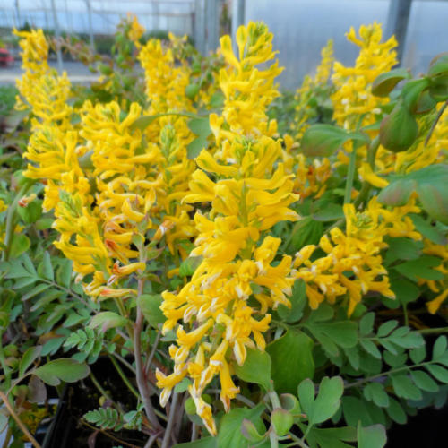 CORYDALIS_CANARY_FEATHERS