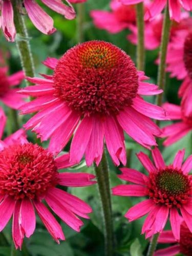 Echinacea_Delicious_Candy1