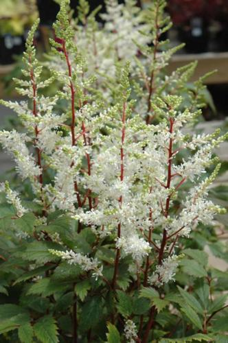 astilbe-rock-and-roll