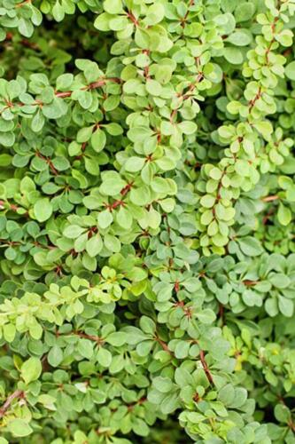 berberis_green-carpet