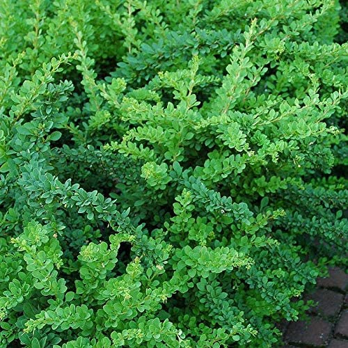 berberis_green-carpet1