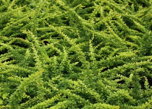 berberis_green-carpet2