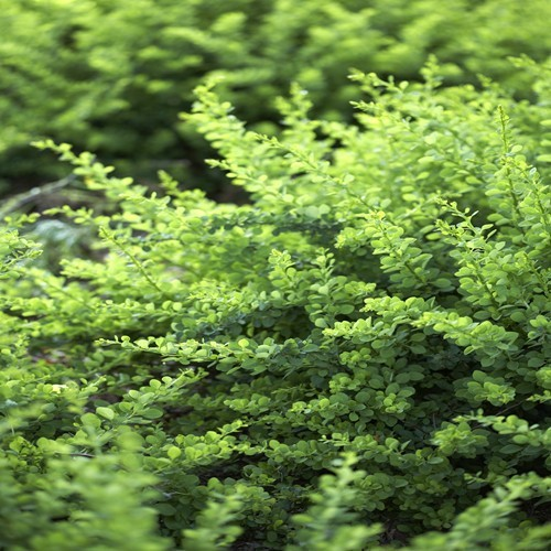 berberis_green-carpet3