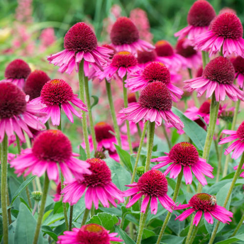 echinacea-delicious-candy4