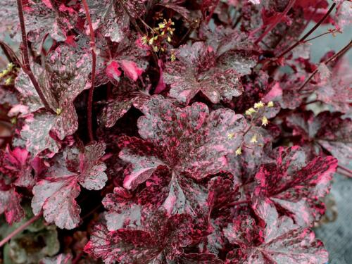 heuchera_midnight_rose