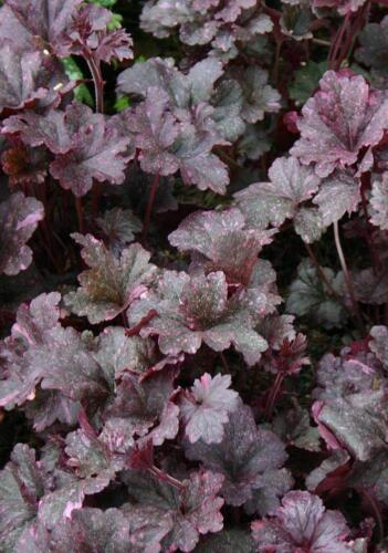 heuchera_midnight_rose1