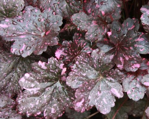 heuchera_midnight_rose2