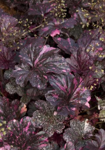 heuchera_midnight_rose3