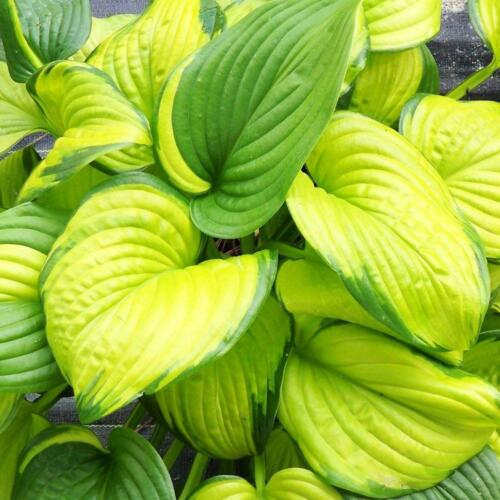 hosta-stained-glass1