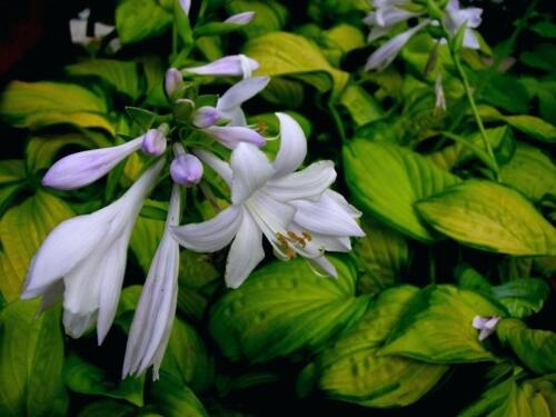 hosta-stained-glass2