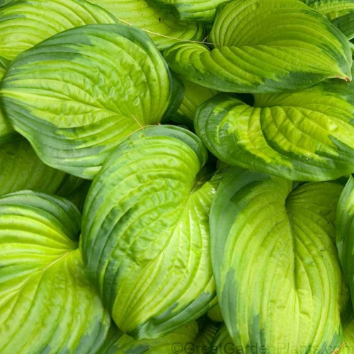 hosta-stained-glass3