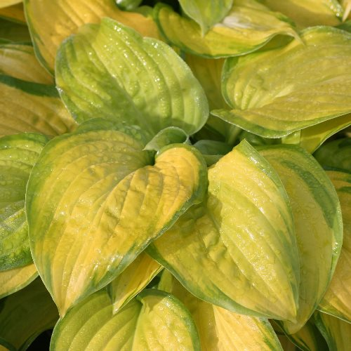 hosta-stained-glass4