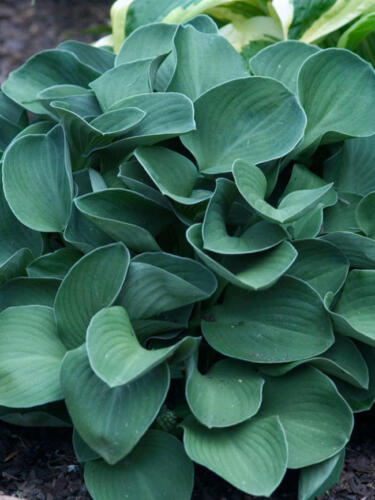 hosta_blue-mouse-ears3