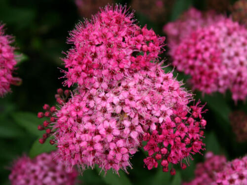 Rote Sommerspiere 'Anthony Waterer' - Spiraea bumalda 'Anthony W