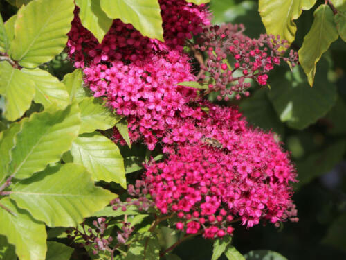 Rote Sommerspiere 'Anthony Waterer Sapho' - Spiraea bumalda 'Ant